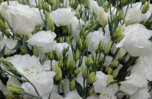 Эустома№2 цветы и букеты с доставкой по Горловке