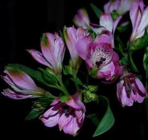 Альстромерия цветы и букеты с доставкой по Горловке
