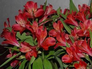 Альстрометрия №2 цветы и букеты с доставкой по Горловке