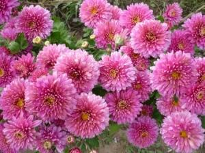 Хризантема №2 цветы и букеты с доставкой по Горловке