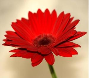 Гербера красная цветы и букеты с доставкой по Горловке