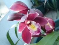 Орхидея№5