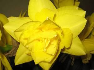 Нарцисс цветы и букеты с доставкой по Горловке