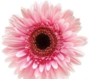 Гербера розовая цветы и букеты с доставкой по Горловке
