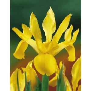 Ирисы№2 цветы и букеты с доставкой по Горловке
