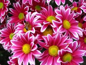 Хризантема №15 цветы и букеты с доставкой по Горловке