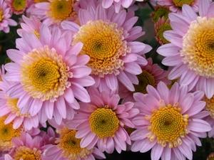 Хризантема №16 цветы и букеты с доставкой по Горловке