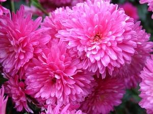 Хризантема №17 цветы и букеты с доставкой по Горловке