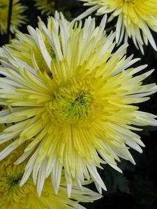Хризантема №13 цветы и букеты с доставкой по Горловке