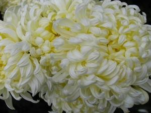 Хризантема №14 цветы и букеты с доставкой по Горловке