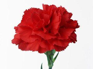 Гвоздика красная цветы и букеты с доставкой по Горловке