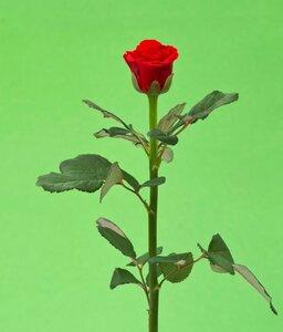 Киевская роза№25 цветы и букеты с доставкой по Горловке