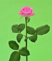 Киевская роза №16