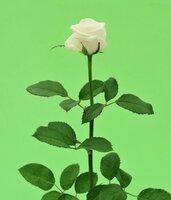Киевская роза №15