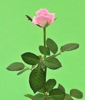 Киевская роза №14