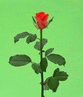 Киевская роза №13