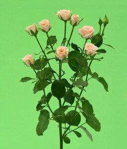 Киевская роза№11 цветы и букеты с доставкой по Горловке