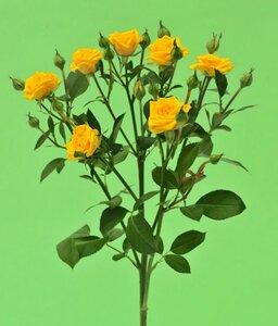 Киевская роза№10 цветы и букеты с доставкой по Горловке