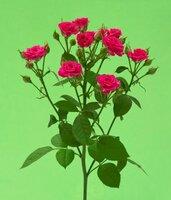 Кенийская роза №9