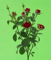 Кенийская роза №8