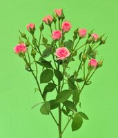 Кенийская роза №7