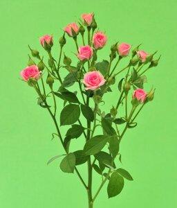 Кенийская роза №7 цветы и букеты с доставкой по Горловке