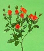 Кенийская роза №6