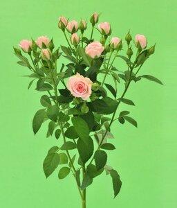 Кенийская роза №5 цветы и букеты с доставкой по Горловке