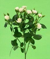 Кенийская роза №3