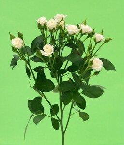 Кенийская роза №3 цветы и букеты с доставкой по Горловке