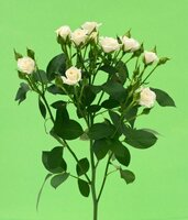 Кенийская роза №4