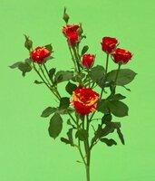 Кенийская  роза№2