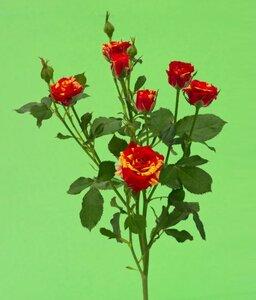 Кенийская  роза№2 цветы и букеты с доставкой по Горловке