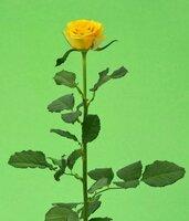 Киевская роза№23