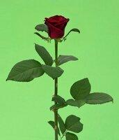 Киевская роза №19