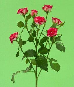 Кенийская роза №1 цветы и букеты с доставкой по Горловке