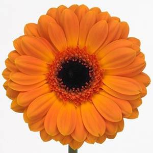 Гербера оранж цветы и букеты с доставкой по Горловке