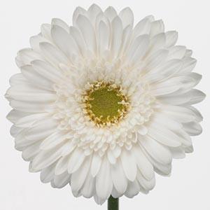 Гербера белая цветы и букеты с доставкой по Горловке