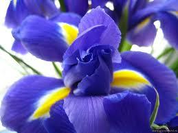 Ирисы цветы и букеты с доставкой по Горловке
