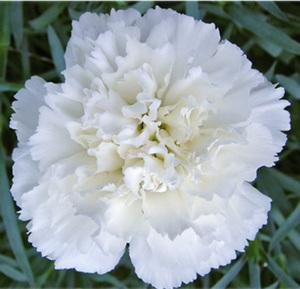 Гвоздика  цветы и букеты с доставкой по Горловке